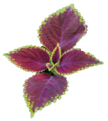 forskolin-leaf